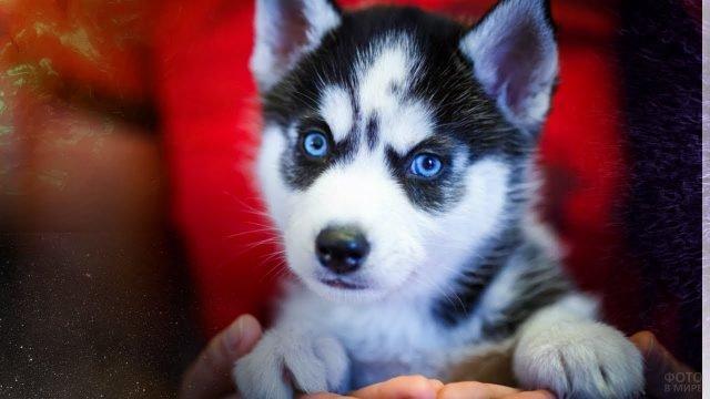Милый щенок хаски