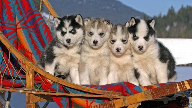 Недовольные щенки хаски в поездке