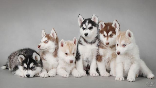 Шестеро разноцветных щенков хаски