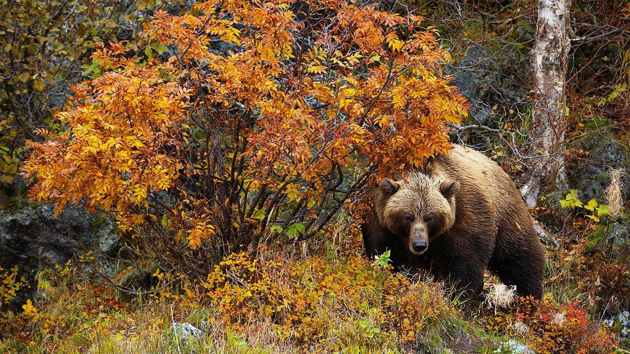 Бурый медведь в осеннем лесу