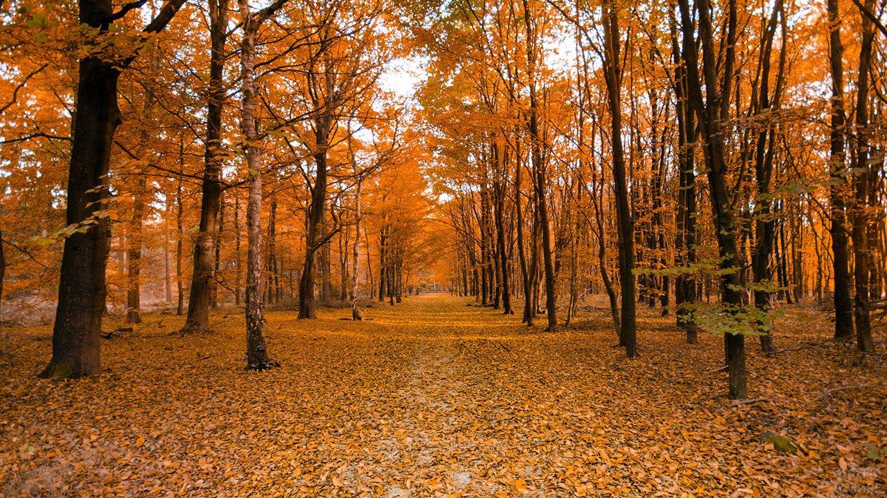 Ярко-оранжевые кроны деревьев на жёлтом ковре опавших листьев