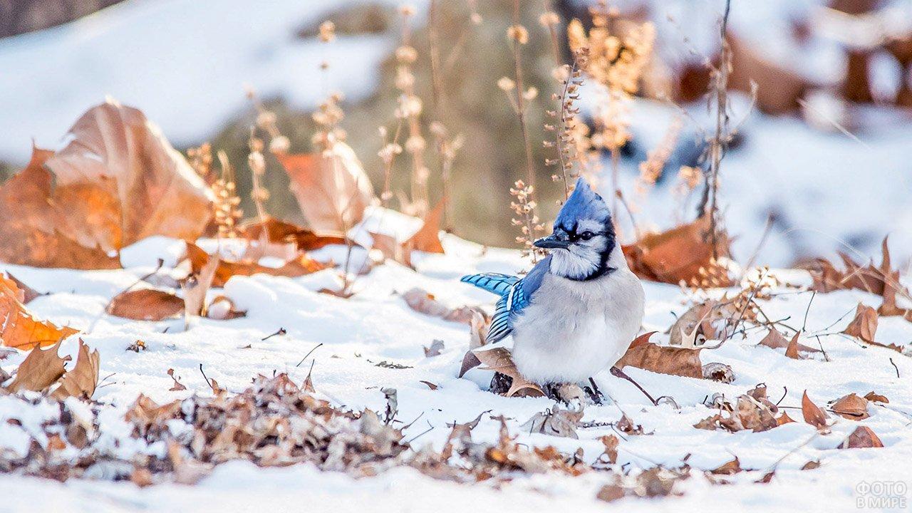 Красивая птичка с голубым хохолком на первом снегу в осеннем лесу