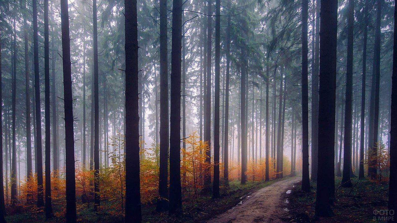 Молодые деревца в жёлтой листве под высокими елями осеннего леса