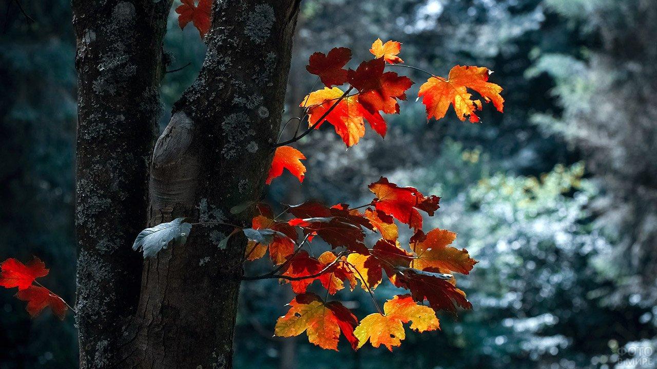 Жёлтые кленовые листья на фоне еще зелёного осеннего леса
