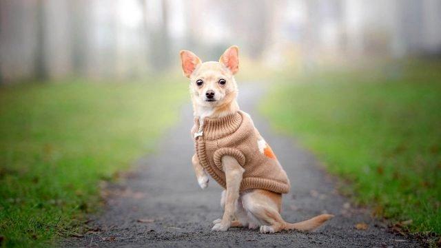 Чихуахуа в свитере на тропинке