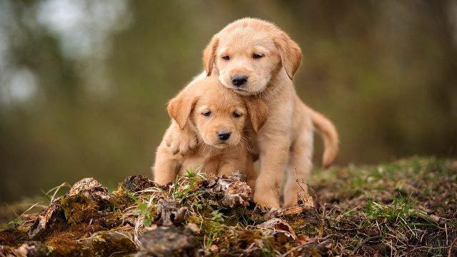 Два рыжих щенка на земле