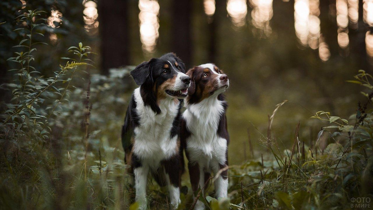 Две австралийские овчарки в лесу