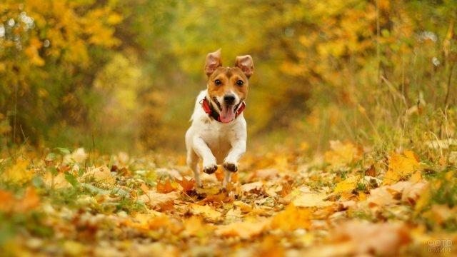 Джек рассел терьер бежит по листьям