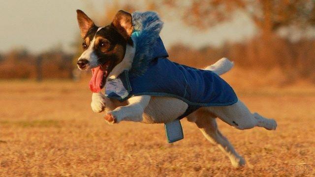 Джек рассел в синем комбинезоне в прыжке