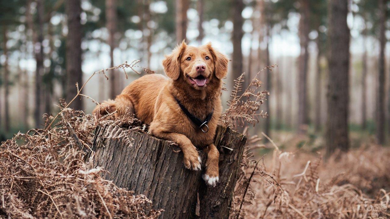 Пёс лежит на пне в лесу осенью