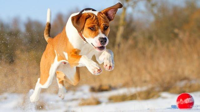 Рыжая с пятнами собака в прыжке