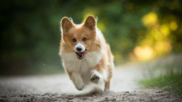 Рыжий щенок корги бежит по тропинке