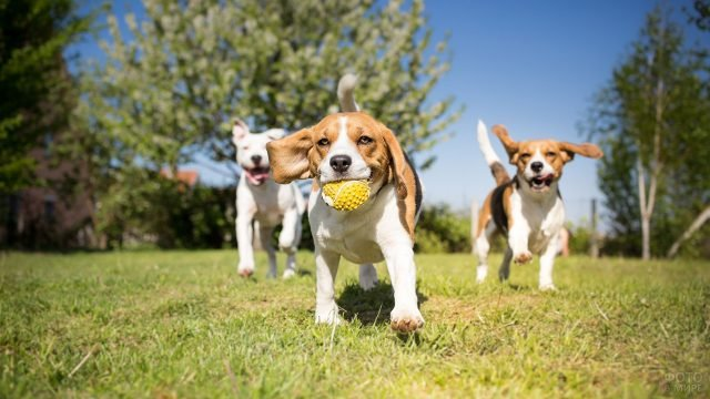 Три щенка играют в жёлтый мяч