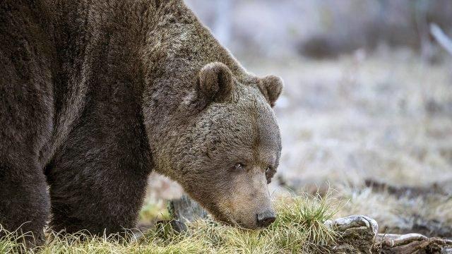 Бурый медведь косится, склонив морду к траве
