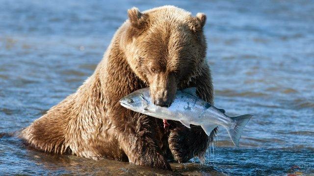 Бурый медведь с пойманной рыбой на Аляске