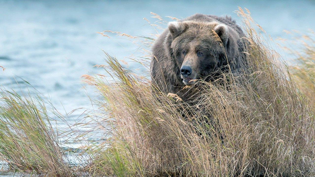 Бурый медведь в высокой прибрежной траве