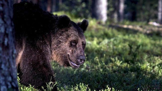 Бурый медведь выглядывает из-за дерева