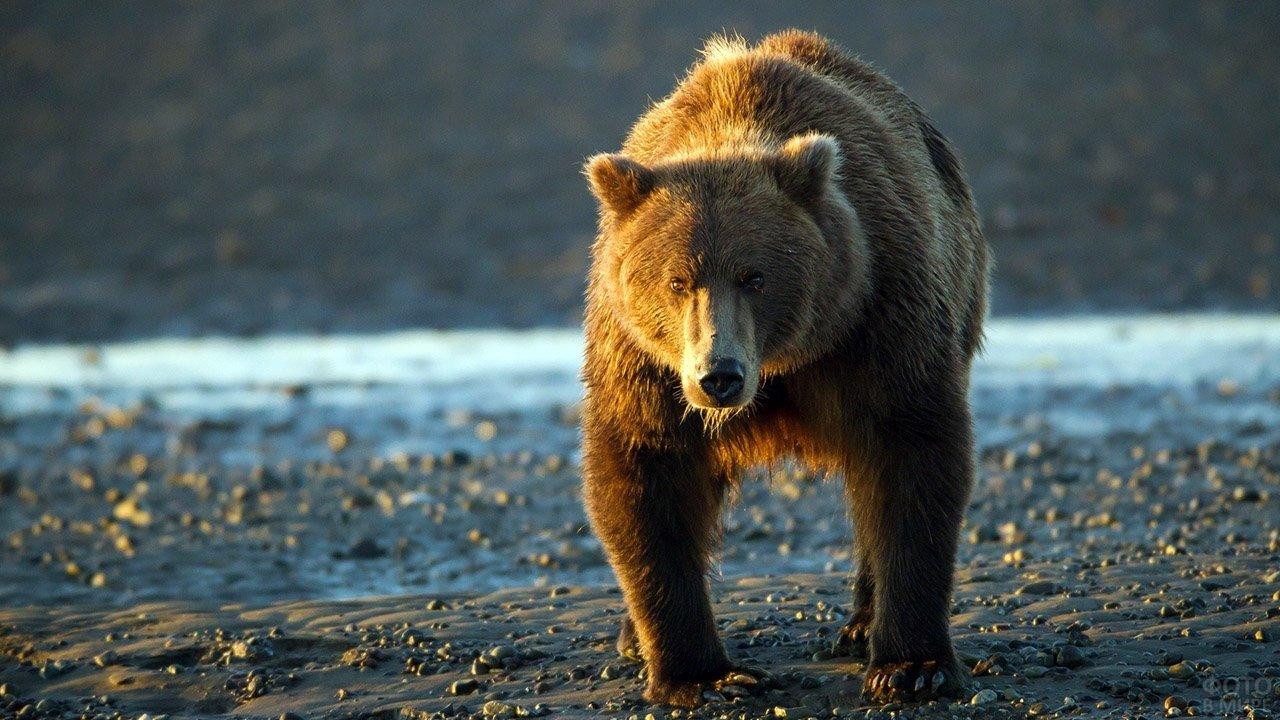 Дикий медведь выходит на берег