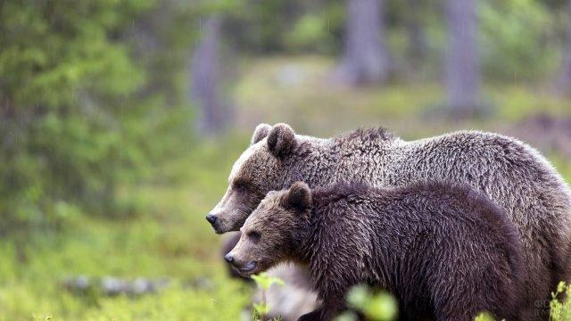 Два насторожившихся молодых медведя на фоне зелёного леса