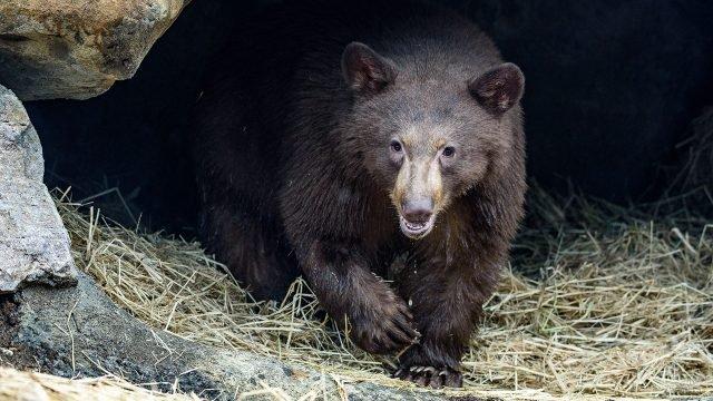 Гималайский медведь в Приморском заповеднике