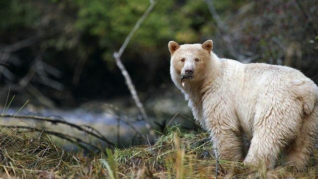 Кермодский медведь-альбинос