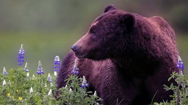 Крупный медведь в цветущем поле
