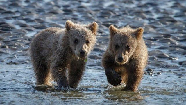 Маленькие медвежата на мелководье речки