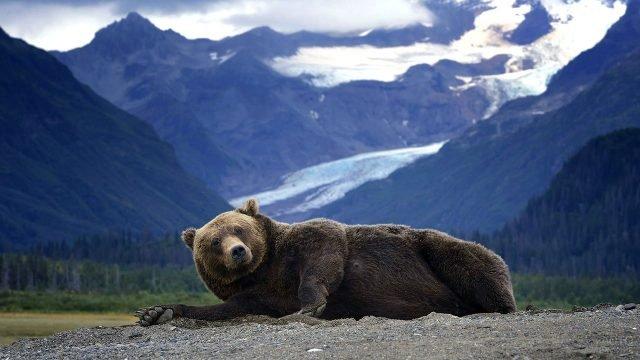 Медвеь лежит на камнях в горах Аляски