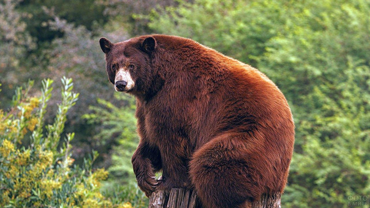 Медведь барибал в зелёном лесу