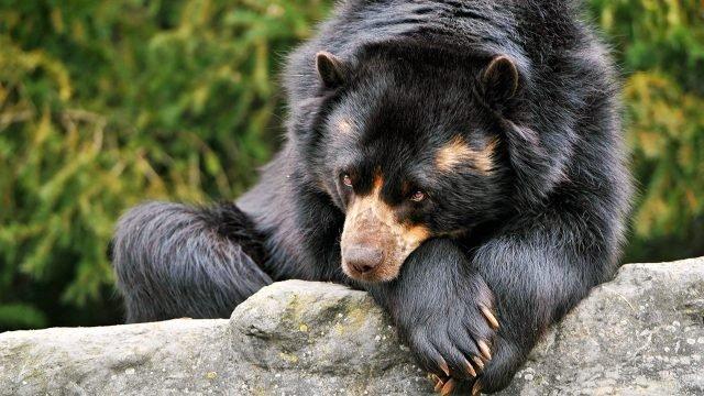 Медведь гризли положил морду на лапы