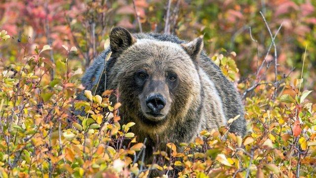 Медведь выглядывает из красно-оранжевых кустов