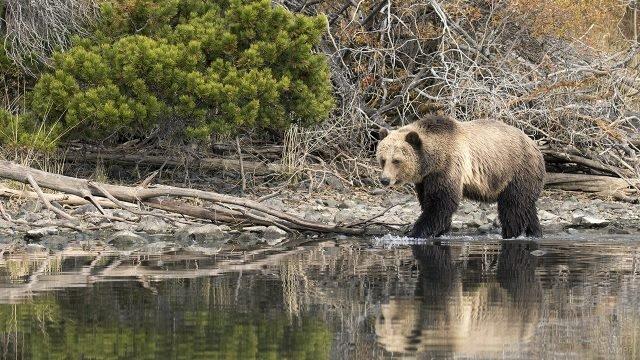 Медведица на каменистом берегу реки