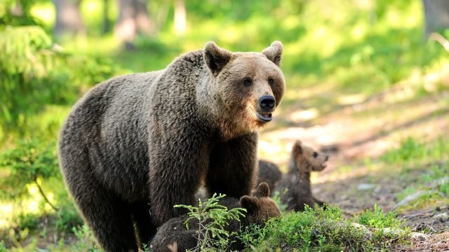Медведица с медвежатами в весеннем лесу