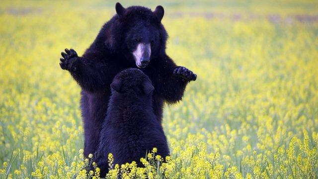 Медведица с медвежонком в цветущем поле