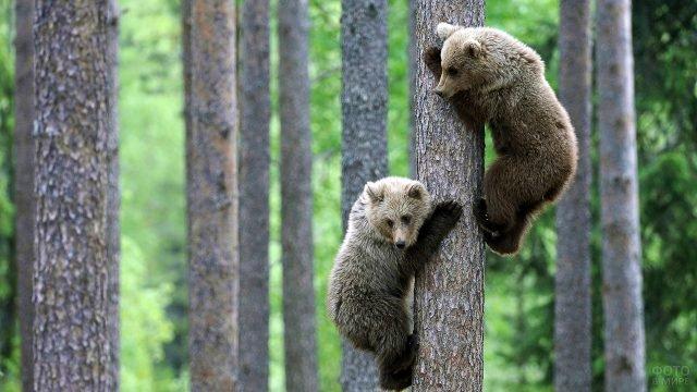 Медвежата на стволе ели в лесу