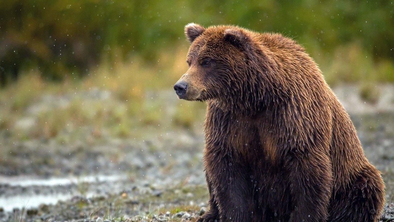 Мокрый бурый медведь под первым снегом