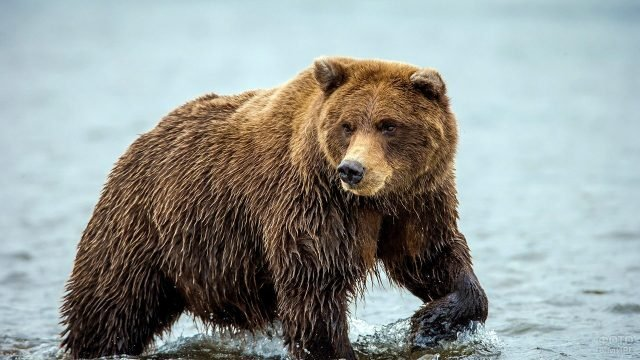 Мокрый бурый медведь в реке
