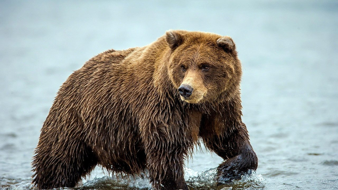 идущий медведь фото