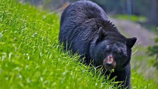 Молодой чёрный медведь в зелёной траве