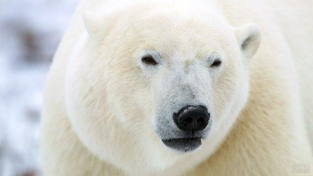 Морда полярного медведя