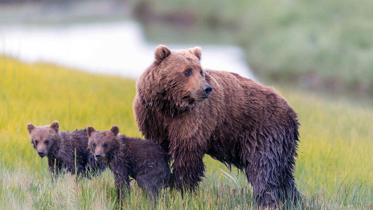 Насторожившаяся медведица с медвежатами