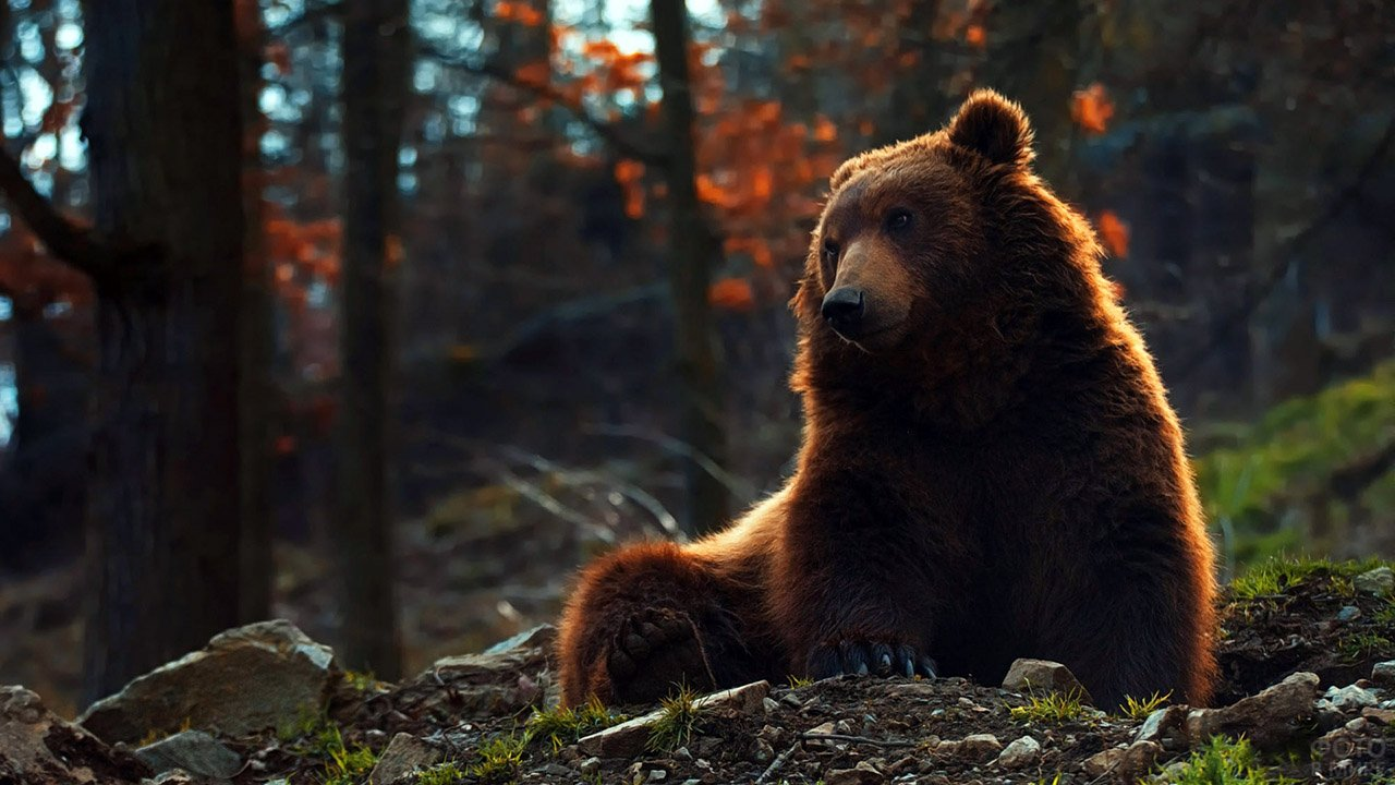 Отдыхающий бурый медведь в осеннем лесу
