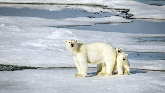 Полярная медведица с двумя медвежатами в дикой природе