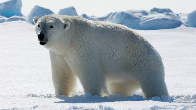 Полярный медведь на заснеженной льдине