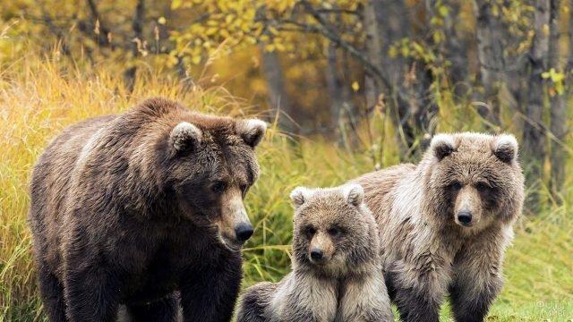 Семья медведей в лесу