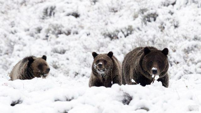 Три медведя в глубоком снегу