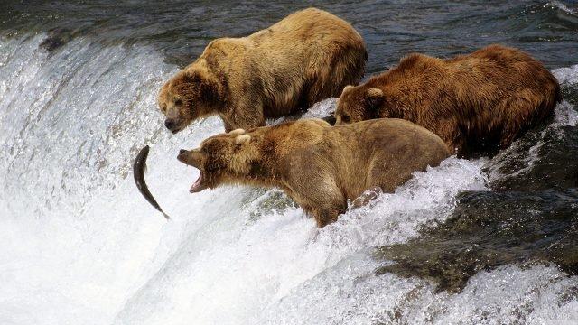 Три молодых бурых медведя ловят рыбу на горном пороге