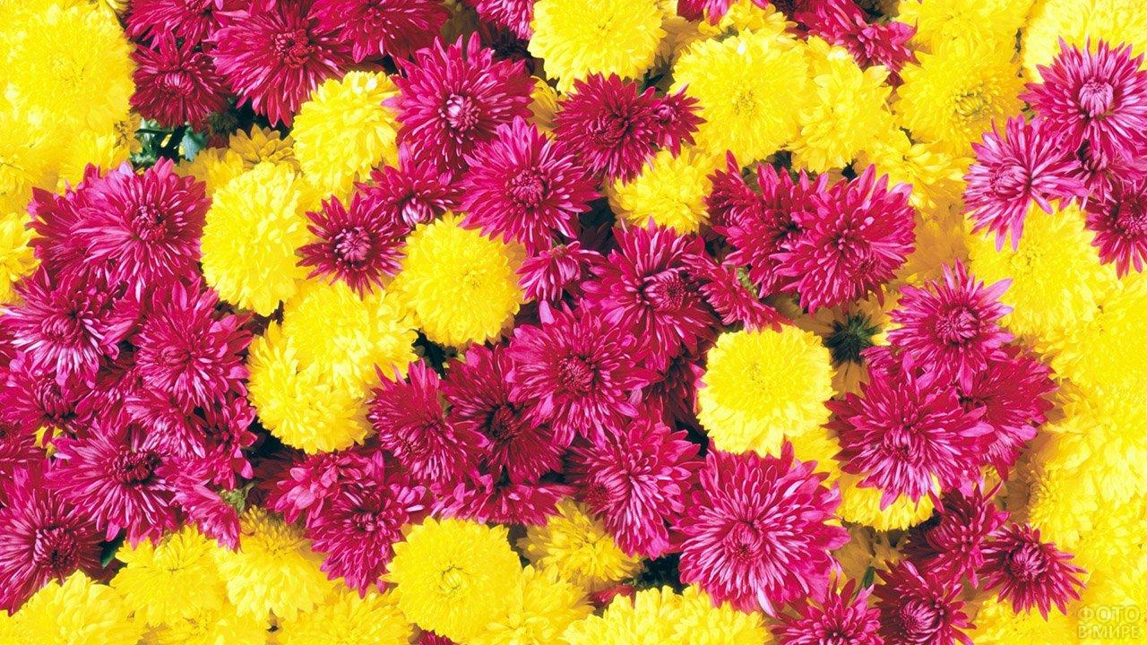 Бордово-жёлтое облако кустовых хризантем