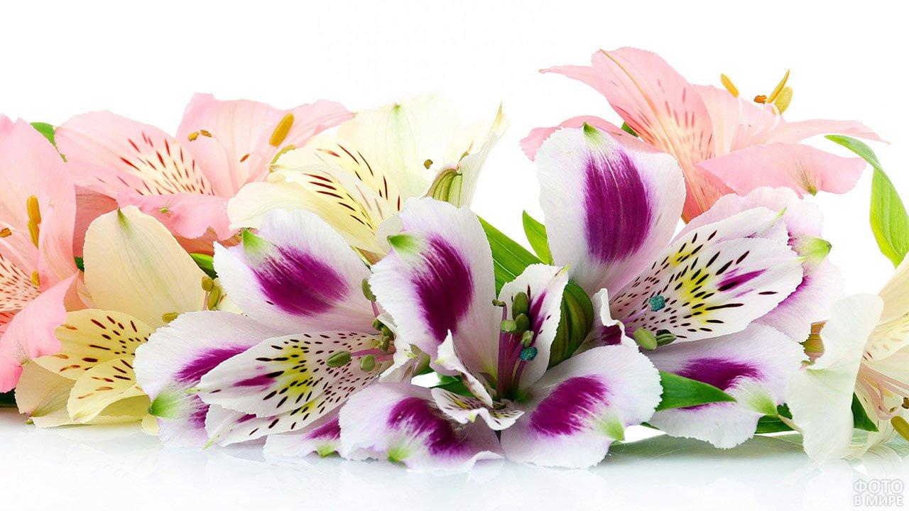 Цветы альстромерий на белом фоне