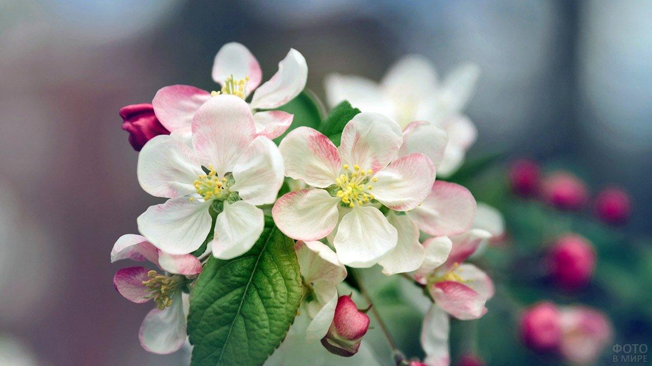 Яблоневый цвет в сиреневой дымке